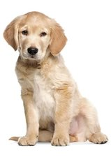 Muursticker Golden Retriever puppy XL