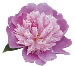 Tegelsticker bloem fuchsia/lichtroze 15x15cm