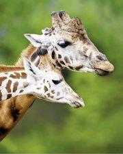 SALE: Deursticker giraffen 85x106cm (BxL)