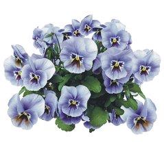 Tegelsticker violen 15x15cm