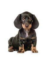 Muursticker Teckel puppy