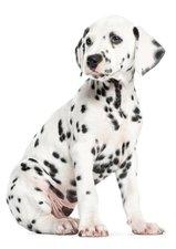Muursticker Dalmatier puppy XL