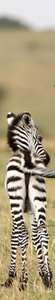 SALE: deursticker safari vriendje 35x230cm (BxL)