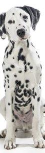 SALE: Deursticker Dalmatier 50x210cm (BxL)